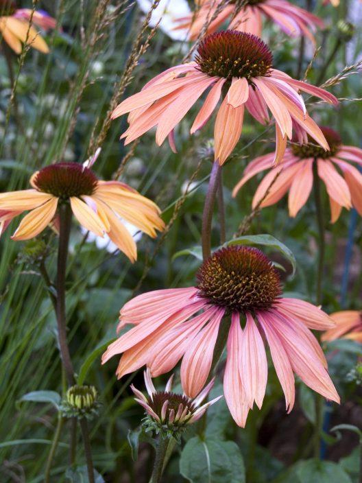 Echinacea Plant | Coneflower