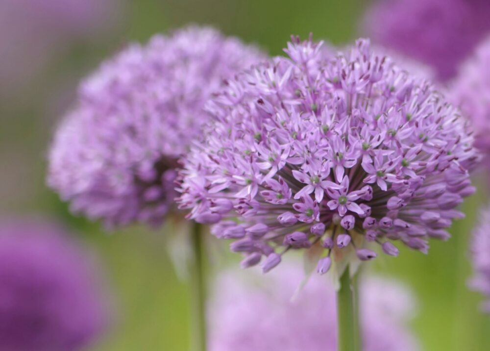 Potted Alliums