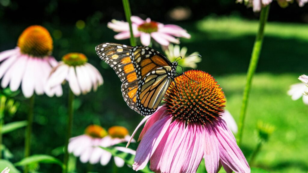Echinacea (coneflower) provides a large landing pad, attracting butterflies and other pollinators to the garden.