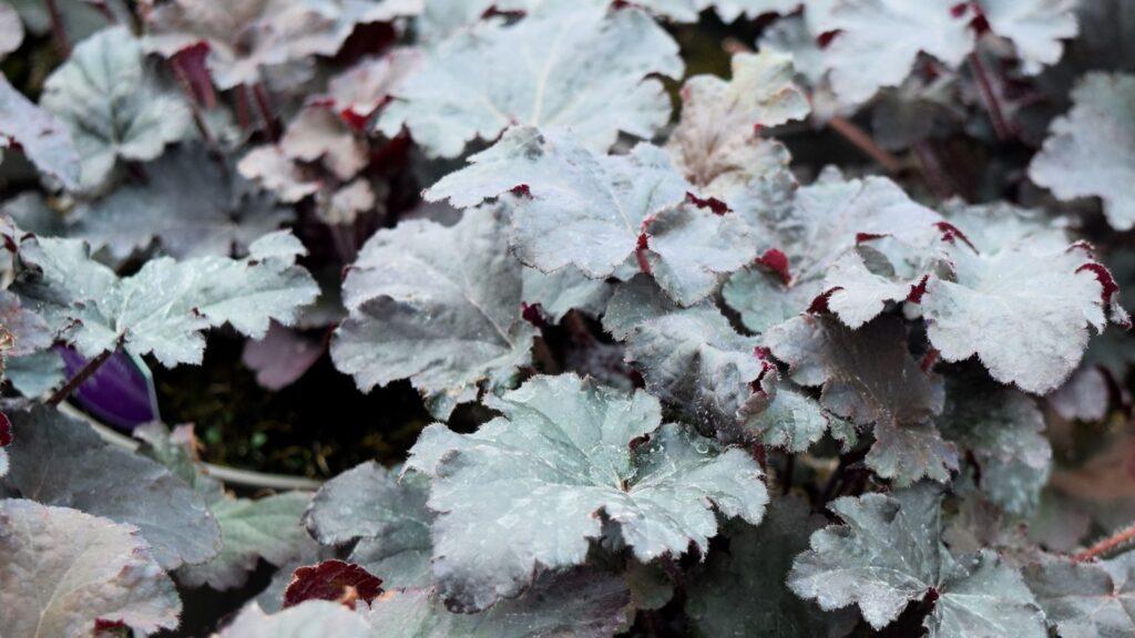 Heuchera 'Binoche' foliage Worfield Plants
