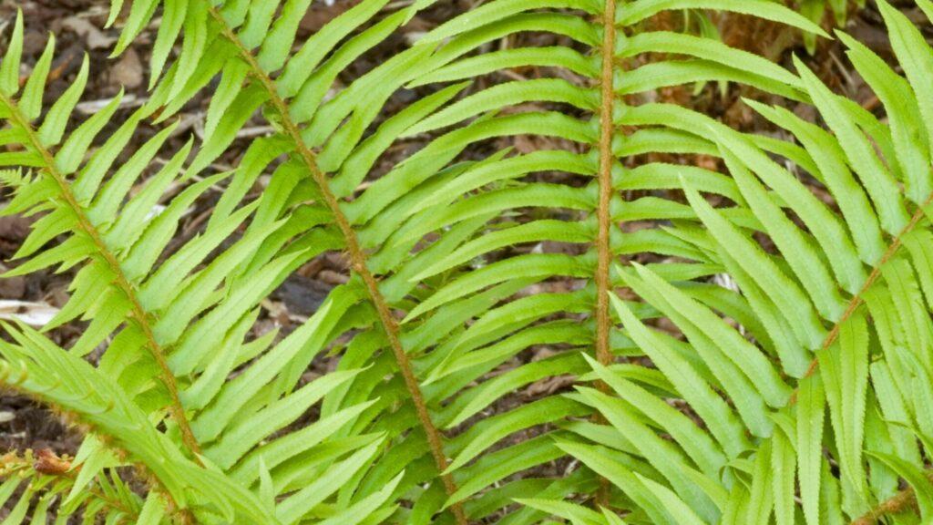 Polystichum munitum Worfield Plants fern