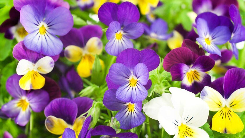 Annual plants - Pansies Flowering