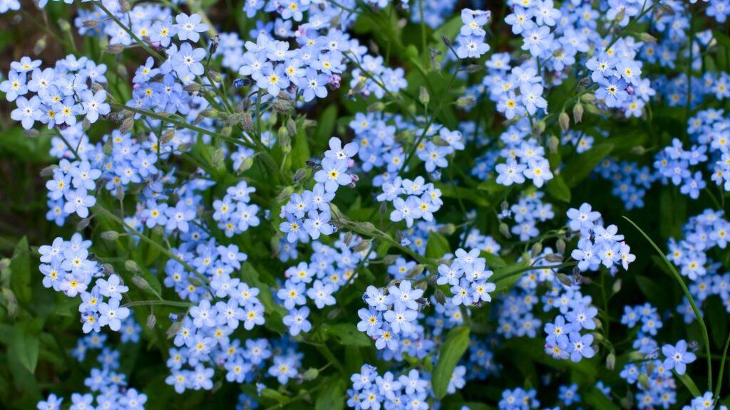 Biennial Plants - Forget-me-not flowers