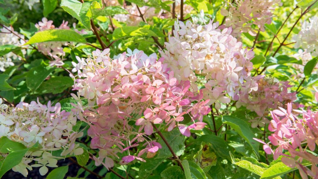 Perennial Plants - Hydrangea Flowers