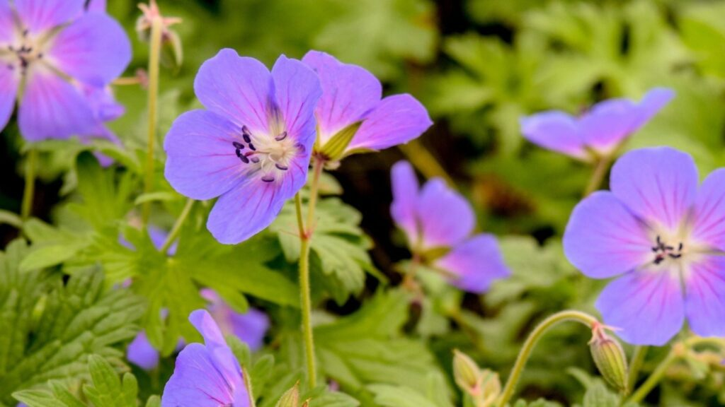 Geranium 'Johnson's Blue' Pest resistant plants
