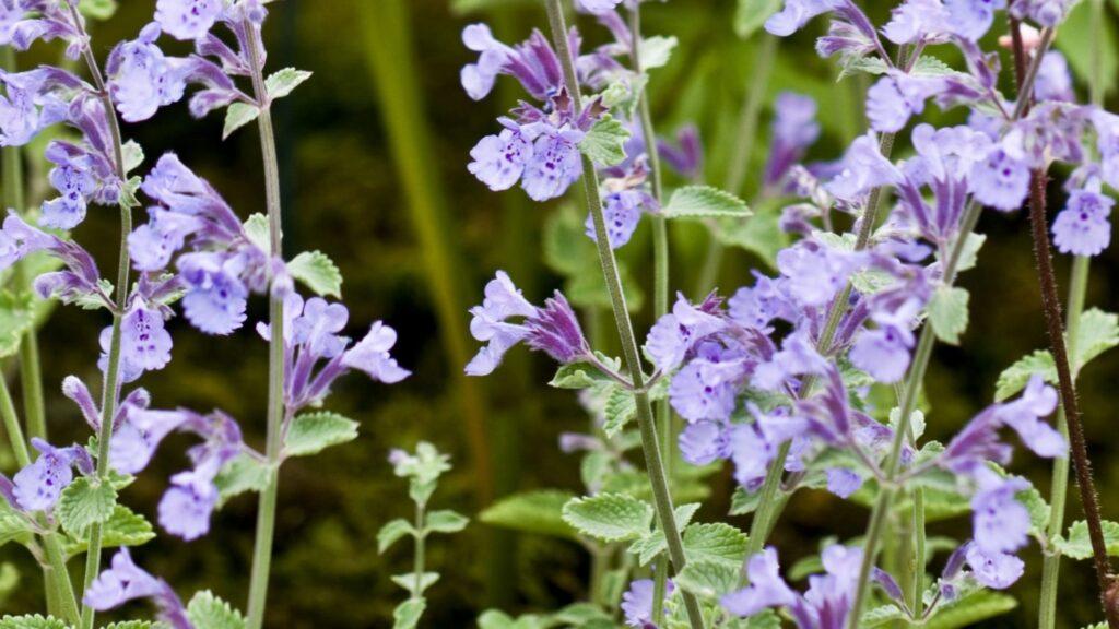 Nepeta 'Walker's Low' - Pest Resistant Plants